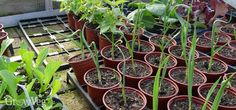It's important to take steps to acclimatize seedlings before planting outside, or you risk losing your plants and wasting all your hard work. This is a process known to gardeners as 'hardening off'.