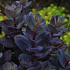 Monrovia's SunSparkler® Blue Pearl Sedum details and information. Learn more about Monrovia plants and best practices for best possible plant performance. Cactus, Black Flowers, Pretty Flowers, Nature Plants, Garden Plants, Monrovia Plants, Gothic Garden, Midnight Garden, Plant Catalogs