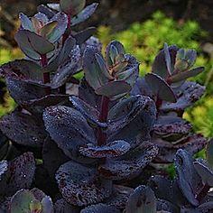 Sedum 'Sunsparkler® Blue Pearl'. Purple stonecrop with a bit of a blue/slate frost.