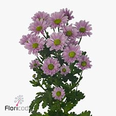 Chrysant san. krissi is a small, multi-headed Purple cut flower. 2018 Wedding Trend: Ultra Violet Purple. For lilac and purple wedding flowers to suit your colour scheme, visit our website at www.trianglenursery.co.uk/fresh-flowers!