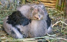 Shoebill chicks have got to be some of the ugliest baby animals on the planet. Image source: http://www.dailymail.co.uk/sciencetech/article-2274300/Shoebill-appears-smile-released-wild-rescued-poachers.html