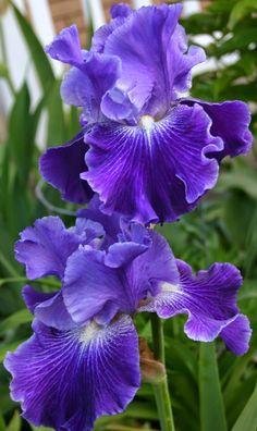 'Daughter of Stars' iris - Planting A Monochromatic Tall Bearded Iris Bed - Blue Purple Iris Flowers, Flowers Nature, Exotic Flowers, Amazing Flowers, Pretty Flowers, Beautiful Flowers Photos, Beautiful Flowers Garden, Spring Flowers, Iris Garden