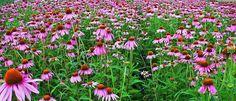 Népies neve: kúpvirág, bíbor kúpvirág. Az Egyesült Államok középső és keleti területein honos. Évelő növény, amely 60-180 cm magasra nő meg. Levelei ép szélűek, átellenesek vagy szembenállóak. A gyökeréből számos mellékgyökér ered. Virágai pirosas színűek, de fehér virágú is lehet. Egész nyáron virágzik, gyökerét tavasszal és ősszel gyűjtik. Mindhárom faj fény és melegkedvelő.    Virágos hajtásait és