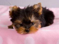 Oh my Golly.a tea-cup yorkie Burton Burton Gaustad Puppies And Kitties, Baby Puppies, Cute Puppies, Cute Dogs, Doggies, Animals And Pets, Baby Animals, Cute Animals, Yorshire Terrier