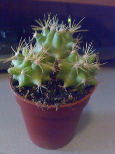 Ferocactus glaucescens : Cactus y Suculentas de Amanecer