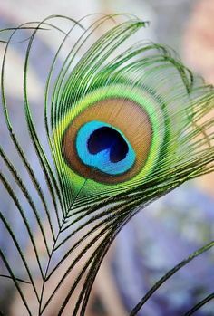 Iridescent Eye Photograph by Werner LehmannYou can find Peacock feathers and more on our website.Iridescent Eye Photograph by Werner Lehmann Shree Krishna Wallpapers, Lord Krishna Hd Wallpaper, Hanuman Wallpaper, Krishna Painting, Krishna Art, Hare Krishna, Krishna Statue, Lord Krishna Images, Radha Krishna Pictures