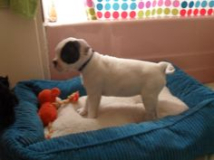My American Bulldog, Suzie, when she was a puppy. Curled-tail, and all.