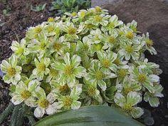 Linda Cochran's Garden: Hacquetia epipactis