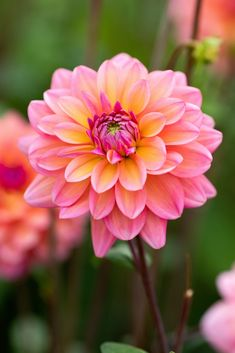 From a distance, these two-tone dahlias are peach. But up close, the 4 to 5 Pink Rose Flower, Flower Art, Beautiful Flower Arrangements, Beautiful Flowers, Bridesmaid Flowers, Wedding Flowers, Black Eyed Susan Flower, Easy Flower Painting, Summer Bulbs
