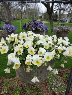 Trailing Pansy 'Freefall Cream' - Arboretum Approved Winner 2015