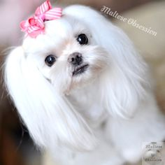 maltese grooming styles | About Maltese Obsession Adopt a Maltese VIDEOS Facebook SHOP SHOP SHOP ...
