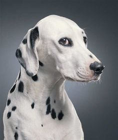Dalmation portrait, by Tim Flach