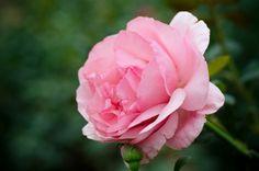 Como cuidar de mini rosas