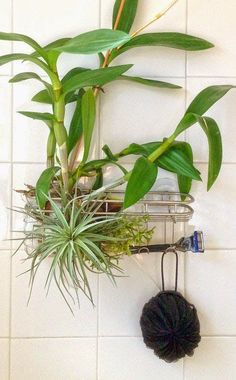 Want to add a little bit of romance to your boring shower? All you need is a hanging shower caddy, a plastic loofah, orchid bark and a few. Bathroom Plants, Small Bathroom, Bathrooms, Bathroom Goals, Bathroom Ideas, Tropical Bathroom, Bathroom Showers, Downstairs Bathroom, Bathroom Shelves