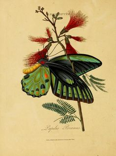 Papilio Priamus  From An epitome of the natural history of the insects of India, by Edward Donovan, London, 1800