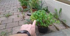 Do IT and your basil will live forever! When To Plant Vegetables, Organic Gardening, Garden Online, Pretty Plants, Plants, Garden, Mini Garden, Green Plants, Planters