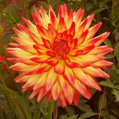 [Medium] Aloha @ http://www.connells-dahlias.com/page8.php?view=productPage&product=8&category=4