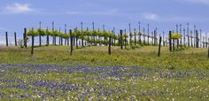 DRIFTWOOD, Texas - Cowboys, barbecue, and LBJ may rule Texas Hill Country, but some newcomers are making waves in this central region of the Lone Star State: winemakers.Grapes have grown on the banks of rivers here for thousands of years, yet Texas Hill Country has only recently begun to rediscover its viticulture roots. It is the nation's second fastest-growing wine destination (behind Napa Valley), covering 15,000 square miles across 22 counties.