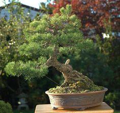 Mugo Pine Bonsai Icin 13 Fikir Bonsai Agaclari Cicek Bonsai Bitkisi
