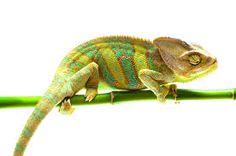Kameleon effect.