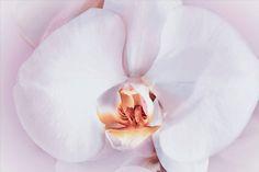 Nieuw in mijn Werk aan de Muur shop: Close-up van een zacht roze orchidee
