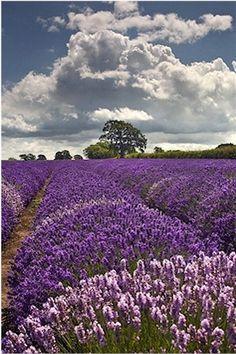 Good Ingredients: Luscious Lavender http://www.orglamix.com