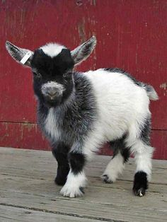 Funny Goat Drawings | Cute Little Baby Goats to Cheer You Up [15 photos] | Furry Talk