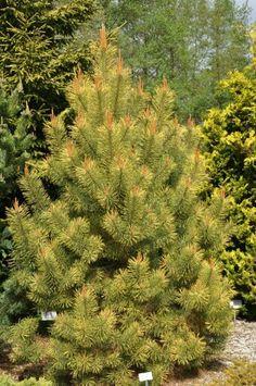 Pinus sylvestris  'Annys Winter Sun'
