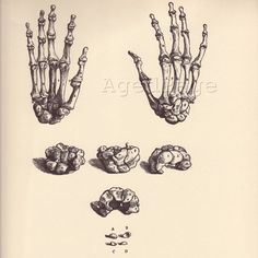 Vintage Anatomy Print, 1950 Book Plate to Frame, Vesalius, Bones of the hand, Sesamoid Bones of the Great Toe