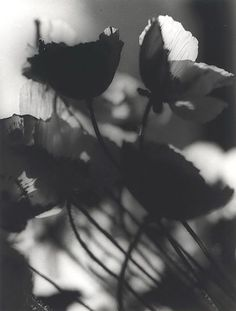 3wings:    Poppies, c. 1939Olive Cotton