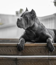 Chien Cane Corso, Cane Corso Mastiff, Cane Corso Dog, Cane Corso Puppies, Blue Cane Corso, Rottweiler Pictures, Pitbull, Animals And Pets, Cute Animals