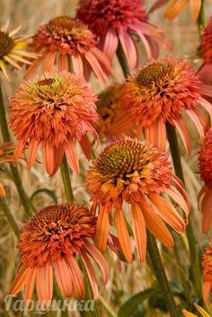 """Эхинацея IrresistibleОдна из самых уникальных """"помпонных эхинацей.Крупные махровые бутоны раскрываются в медно-коралловые цветы, а позже приобретают ярко-оранжевый цвет, который выглядит эффектно (не выгорает) на протяжении всего лета. В пик цветения в серединке помпона появляется цитрусово-желтый глазок. Цветки диаметром 8 см, махровые, ароматные, прекрасно подходят для срезки.Высота 60 см. Время цветения июнь-сентябрь. Зона зимостойкости4 (-34 / -29 °C)"""