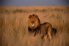 13. Lions - 22  deaths a year Estimates for lion-related deaths also vary…