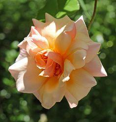 Pernetiana Hybrid Tea Rose: Rosa 'Gruss an Coburg' (Germany, 1927)
