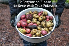 9 Companion Plants to Grow with Your Potatoes - Gardening Ideas Potato Companion Plants, Companion Gardening, Edible Garden, Easy Garden, Organic Gardening, Gardening Tips, Vegetable Gardening, Flower Gardening, Planting Flowers