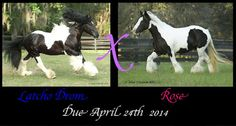 A foal will be born next year, 2014 to none other than Latcho Drom, sire, and Rose, dam.  This is a great combination and we are expecting nothing other than greatness.  If you are interested in some of the best Gypsy Vanner genetics, please visit Gypsygold.com for more info.