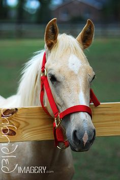 horse with pretty red halter
