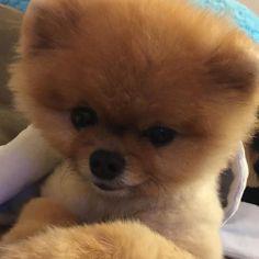 jiff Bear Dogs, Teddy Bear Dog, Tiny Puppies, Cute Puppies, Jiff Pom, Animals And Pets, Cute Animals, Teacup Pomeranian, Cute Animal Memes