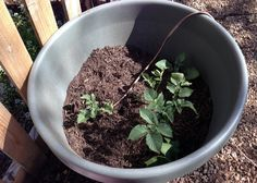 Grow potatoes in a pot? Sure! You need approximately 2.5 gallons of space per seed potato you plant - this pot holds 3 potato plants. Get all the details and how-to from Noelle on the Birds & Blooms Blog!