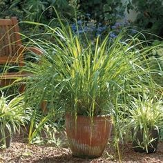 Lemon Grass for Mosquitoes - Thai lemongrass contains citronella oil, the strong scent of which makes it hard for mosquitoes to find you. At the same time, lemongrass is a beautiful mounding perennial. Container Gardening, Gardening Tips, Natural Mosquito Repellant, Citronella Oil, Grass Seed, Plants Online, Plantar, Ornamental Grasses, Plantation