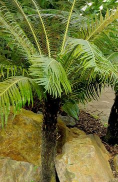 Dwarf Tree Fern (Blechnum gibbum 'Silver Lady'), evergreen fern with an unusual, palm-like appearance, 1-2 ft. trunk with a crown of spreading fronds, new fronds are light green and mature to deep green, medium to dense shade, consistent moisture, good container plant, native.