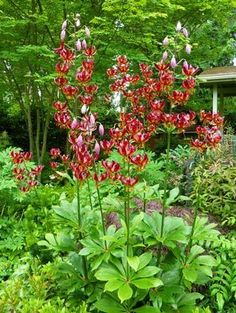 'Claude Shride' is Nancy Heckler's favorite martagon because of its vigor and dramatic burnt-burgundy coloration. It has strong stems with up to 40 recurved, turk's cap flowers on a stem.