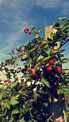 Fruit picking #blackberries #fruit #ribena