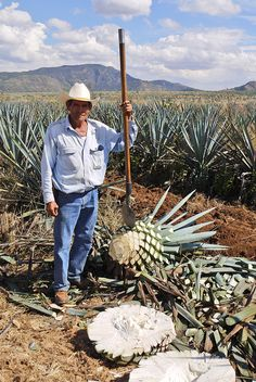 This is the only region #Agave plants grow in the world. The plant is used to make #Tequila. The photo was taken on a trip to Guadalajara, #Mexico.