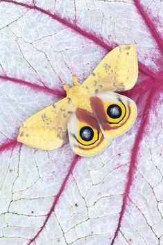 Male Io Moth On Coleus By Jeff Lepore