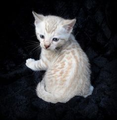 Adorable Snow Bengal Kittens on asianfirebengals.com!