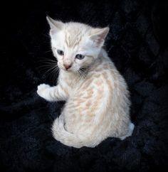 Somali Cat For Sale Canada