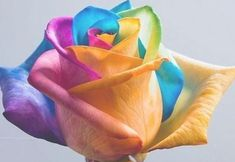 Add more Zen harmony to your house by growing these Amazing Rainbow Rose Plants. The riotous blaze of color will lift your senses and totally baffle all your visitors. You get 100 Rainbow Rose Seeds. Balcony Plants, Patio Plants, Raised Bed Garden Design, Palette, Rainbow Roses, Rose Images, Exotic Flowers, Rose Flowers, Cut Flowers