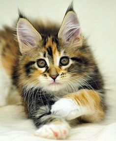 sweet calico cat with fuzzy eartips - Maine Coon? or part Maine Coon? Pretty Cats, Beautiful Cats, Animals Beautiful, Pretty Kitty, Animals And Pets, Baby Animals, Cute Animals, Animal Babies, Kittens Cutest