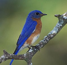 Everyone should have at least one bluebird house in their Secret Garden.  My favorite birds of all time. Except hummers.